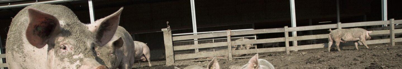 Varkens in de modder van een 3 ster Beter Leven stal