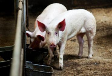 Twee varkens in een stal