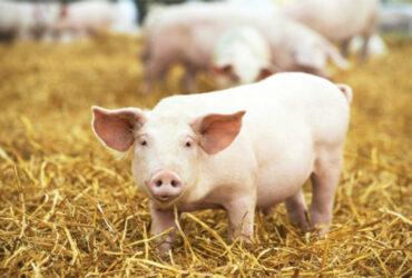Een varken in de stro