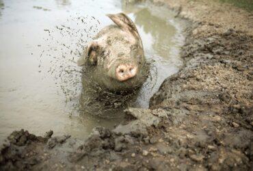 Een varken dat zich uitschud in de modder