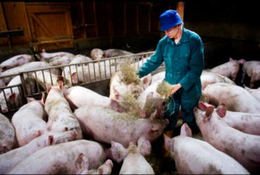 Boerin in een stal met varkens