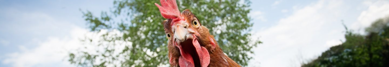 Kip kijkt in camera