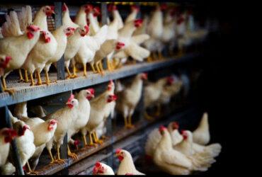 kippen in een etalagestal